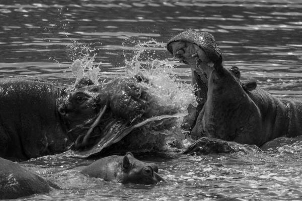 mono close up of hippos fighting