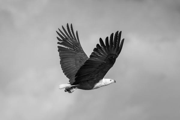 mono african fish eagle with wings