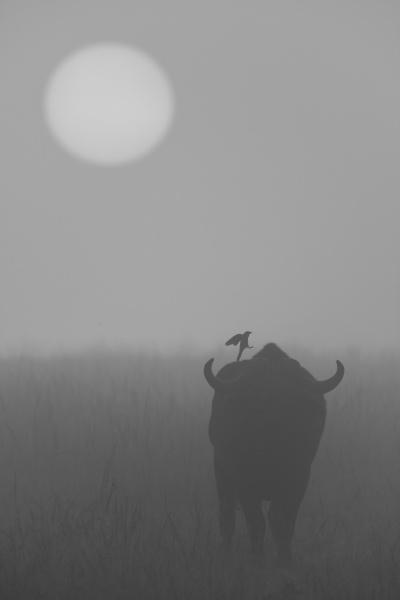 mono bird hops on misty buffalo