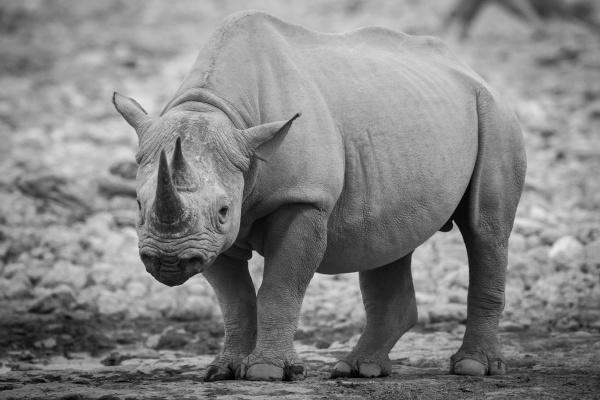 mono black rhino by waterhole watching