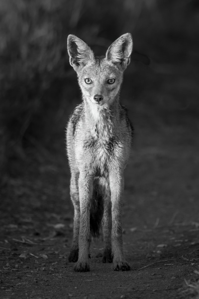 mono black backed jackal on track