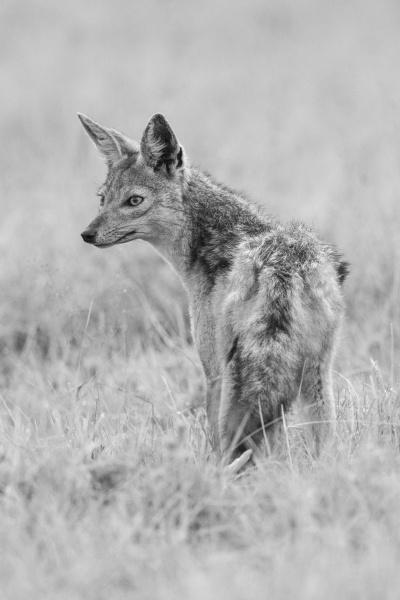 mono black backed jackal stands turning