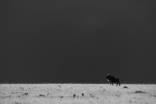 mono blue wildebeest on horizon beneath