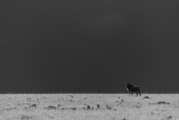 mono blue wildebeest on horizon under
