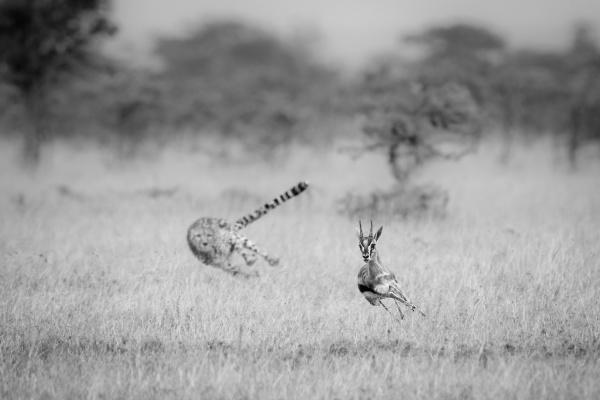 mono cheetah chasing thomson gazelle in