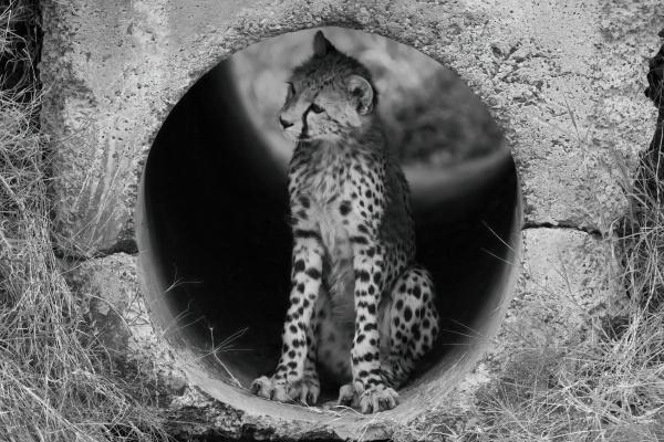 mono cheetah cub in pipe looking