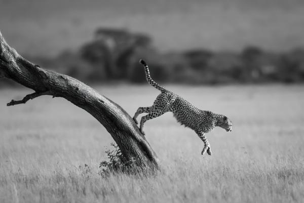 mono cheetah jumps from tree towards
