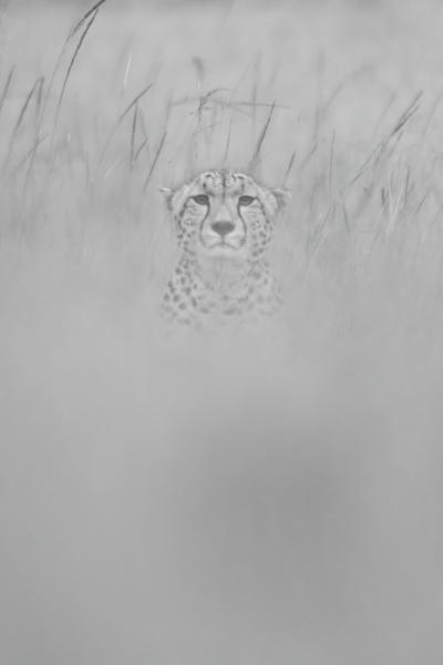 mono cheetah sits facing camera in