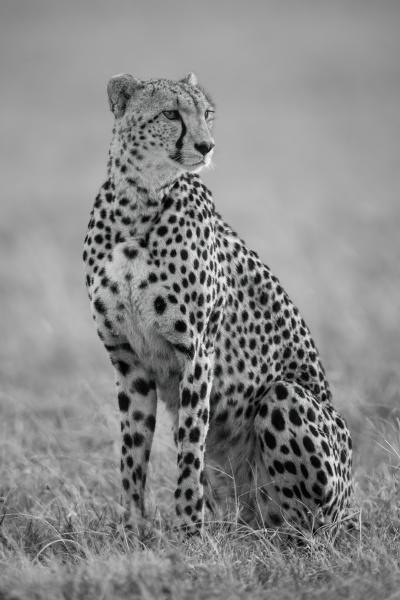 mono cheetah sitting in grass turning