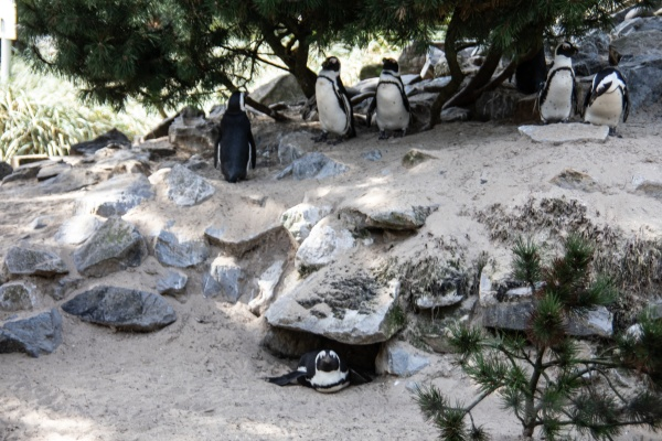 penguins in a colony
