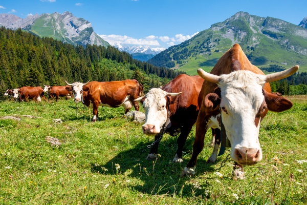 cows in a mountain field