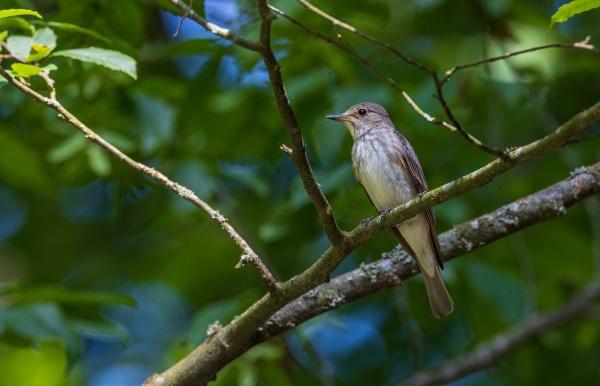 spotted flycatcher muscicapa striata on branch