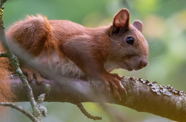 eurasian red squirrel sitting on branch