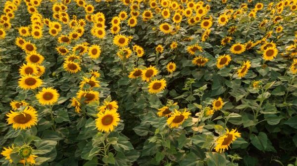 sunflower field in summertime sunset light