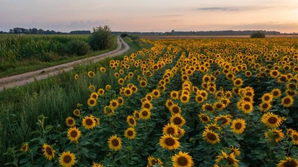 sunflower field next to ground road