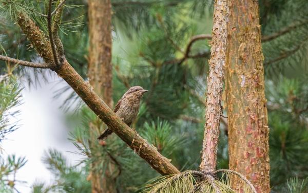 eurasian wryneck jynx torquilla on branch