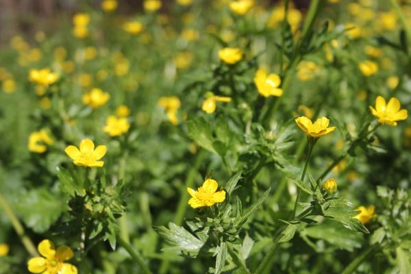 texas wildflower yellow buttercup ranunculus bulbosus