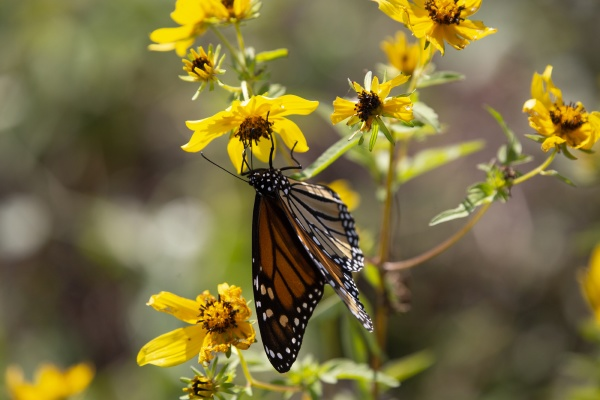 monarch butterfly in a field