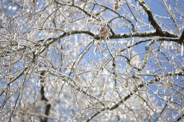 ice on a tree