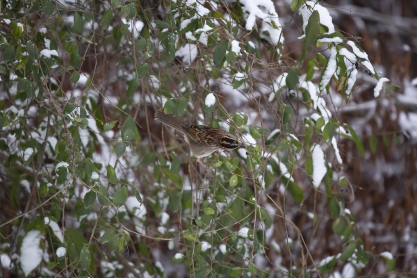 majestic white throated sparrow foraging