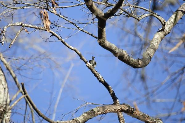 watchful yellow rumped warbler