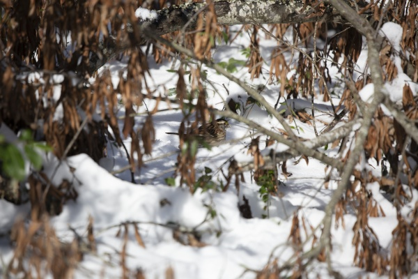 white throated sparrow eating snow