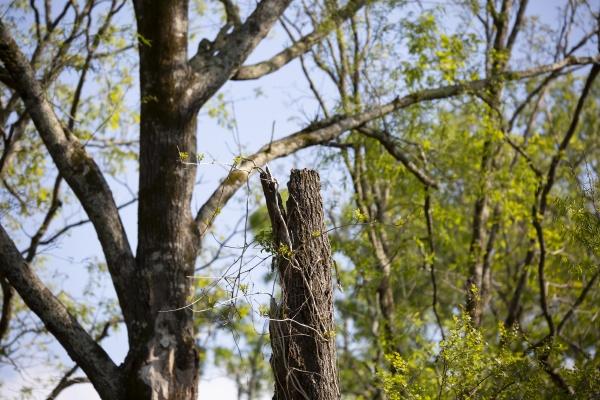 damaged diseased tree