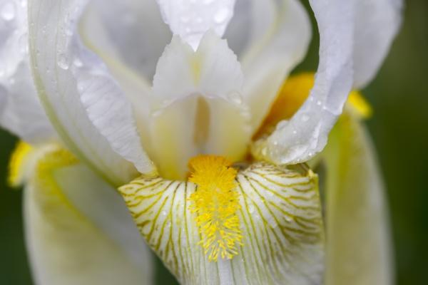 macro of an iris flower