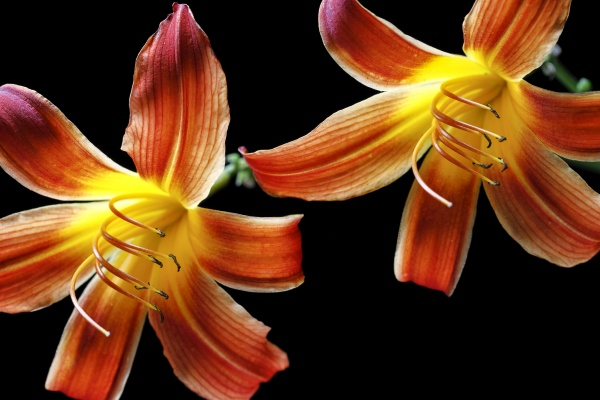 close up of two day lilies
