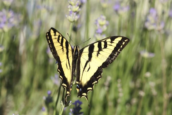 pretty patterns on a yellow swallowtail