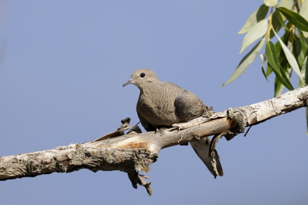 dove perched on a branch