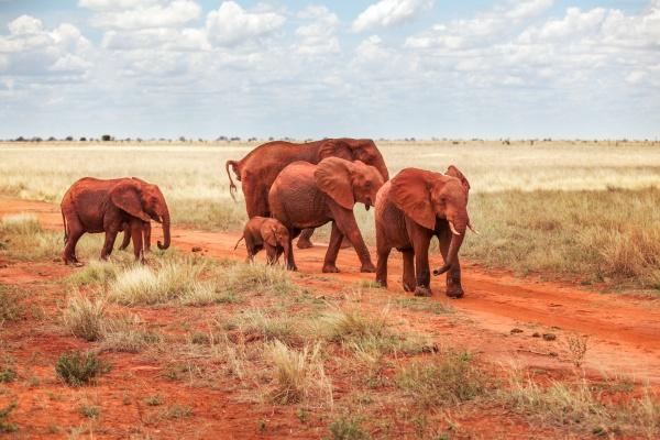 group of african bush elephants loxodonta