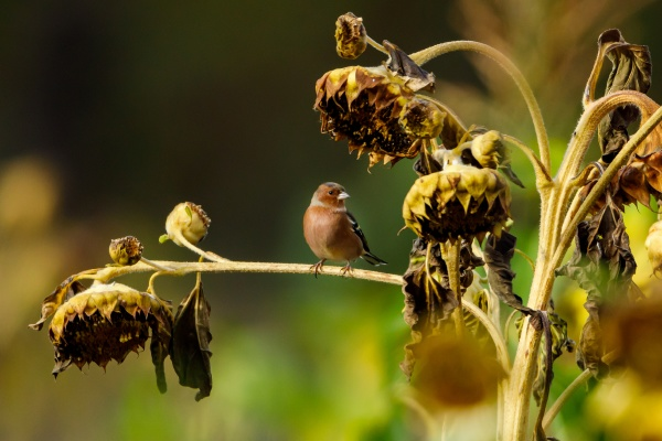 a chaffinch on a sunflower