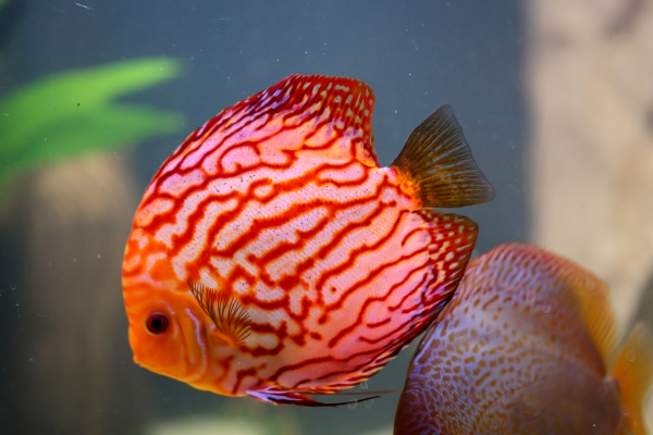 view of discus fish swimming in