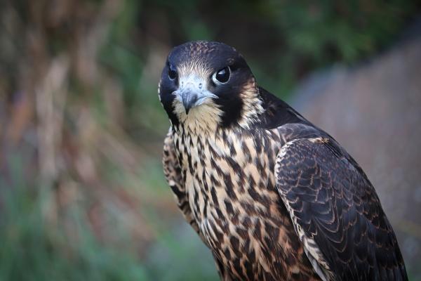 closeup of a juvenile peregrine falcon