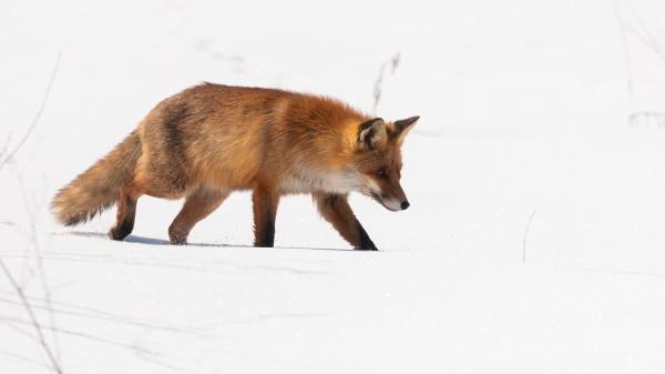 bushy red fox walking on snow