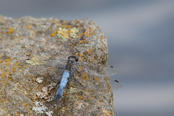 southern skimmer dragonfly orthetrum brunneum