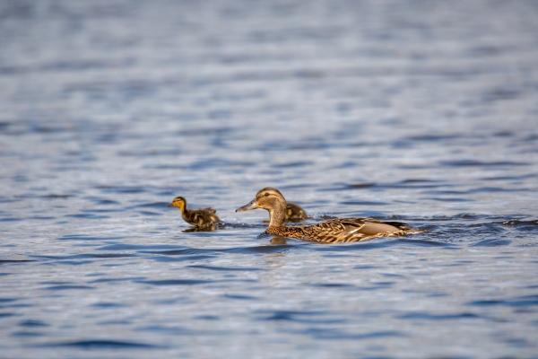 duck mallard on pond czech republic