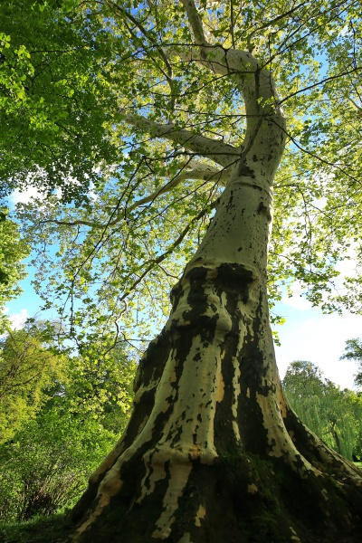 tree in bad mergentheim