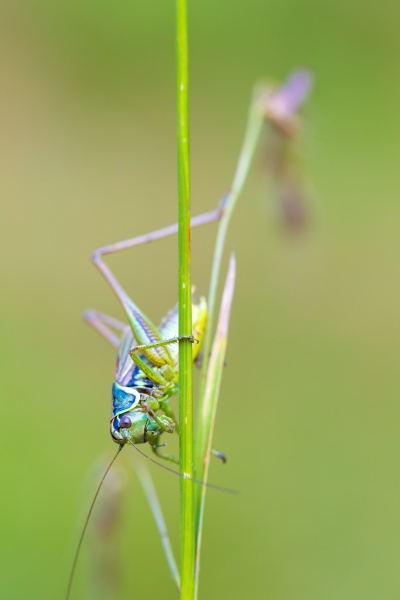 nsect roesels bush cricket on a