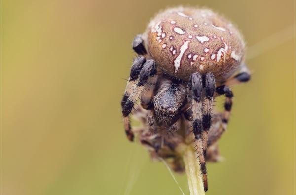 common cross spider sitting grass