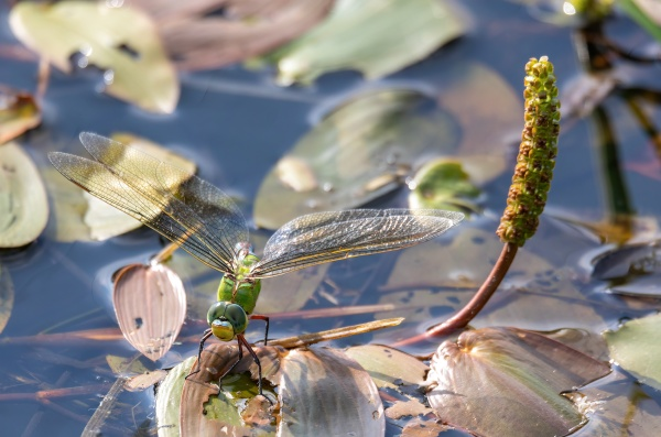 green emperor dragonfly on pond czech