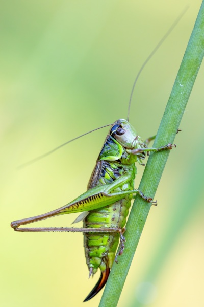 insect roesels bush cricket on a