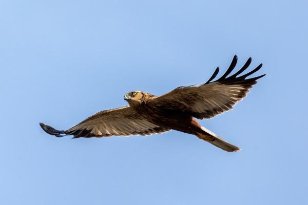 marsh harrier birds of prey europe