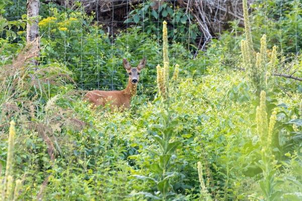 european roe deer near village europe
