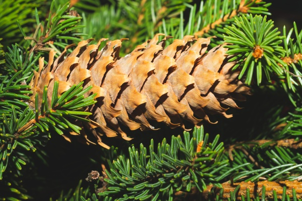 fir tree cones on the branch