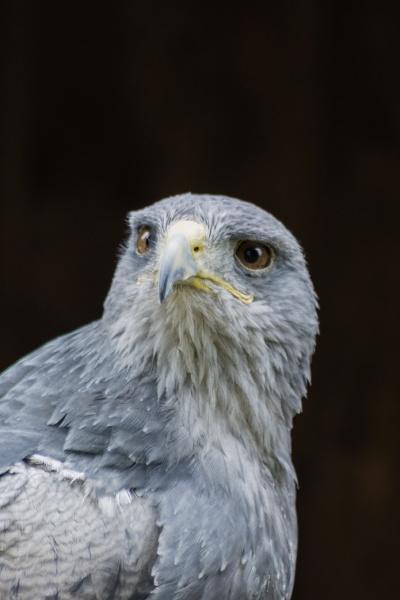 cordillary eagle blue buzzard or aguja