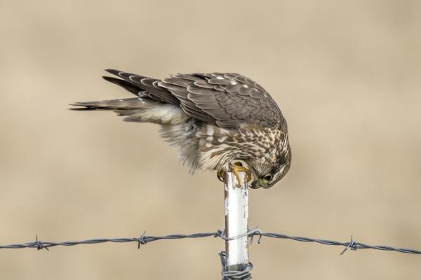 prairie falcon leans down