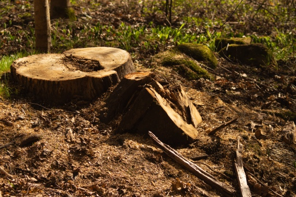 wooden stump in the forest beatiful
