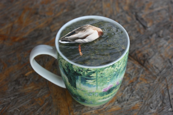 diving duck in a coffee cup